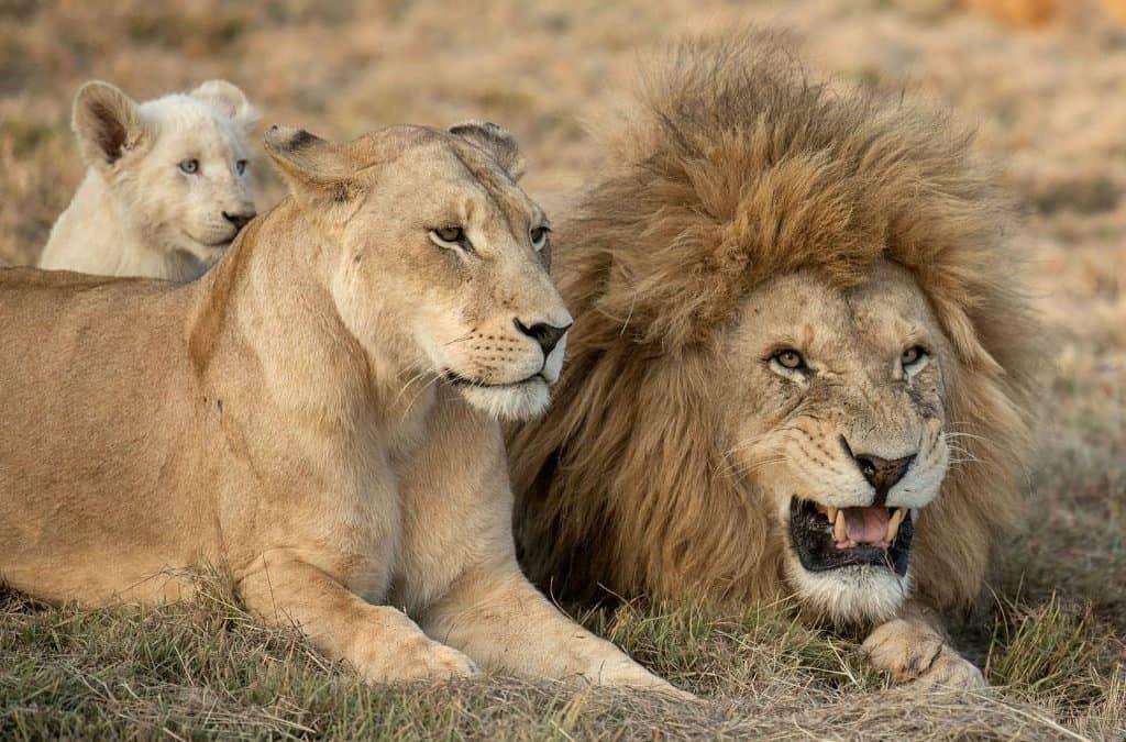Kruger National Parl_Lion Alert