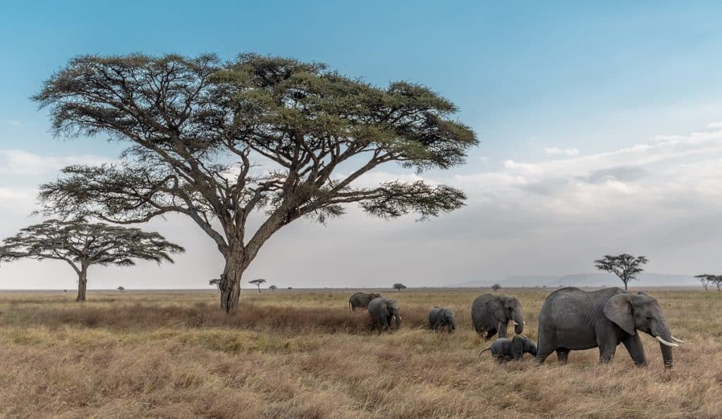 Serengeti_Acacia Africa